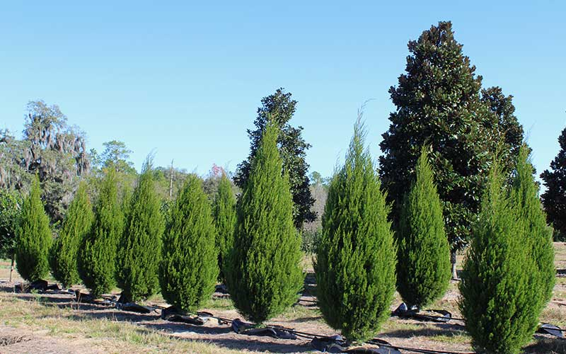 The hardy eastern red cedar tree