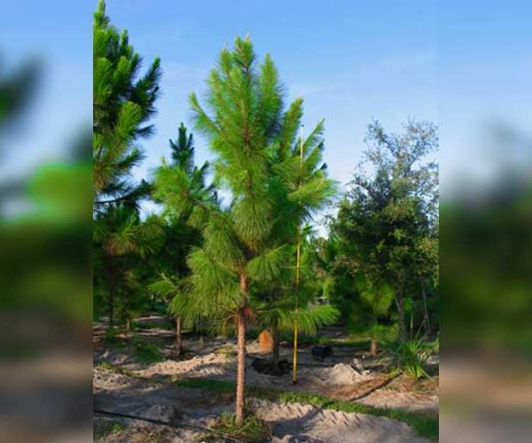 slash-pine-tree